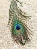 唯一羽毛的孔雀 免版税库存图片