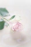 唯一脆弱的退色的粉红色玫瑰 免版税库存照片