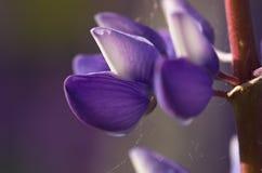 唯一花的羽扇豆 免版税图库摄影