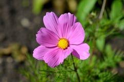 唯一花:波斯菊bipinnatus 免版税库存图片