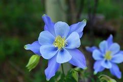 唯一蓝色哥伦拜恩Aquilegia caerulea 免版税图库摄影