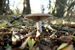 唯一蘑菇在森林里 库存图片