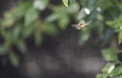 唯一蜂飞行在庭院里 免版税图库摄影