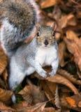 唯一逗人喜爱的灰色灰鼠在下落的叶子床上  免版税库存图片