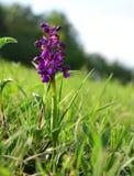 唯一野生兰花在草甸 免版税图库摄影