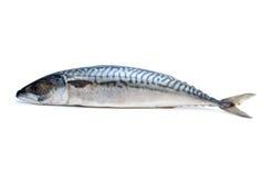 唯一鱼新鲜的鲭鱼 免版税库存照片