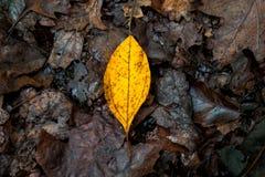 唯一黄色叶子 免版税图库摄影