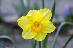 唯一黄色和橙色水仙,装饰花在春天庭院里 库存照片