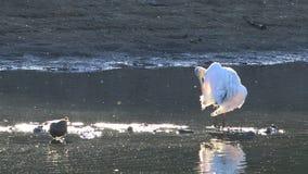 唯一黄色开帐单的篦鹭,Platalea flavipes,在池塘 影视素材