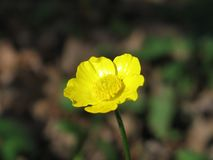 唯一黄色花在春天 宏指令 银莲花属黄色花 图库摄影