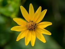 唯一黄色花,关闭,充分的框架 图库摄影