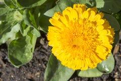 唯一黄色金盏草Officinalis,双重培育品种 免版税库存照片