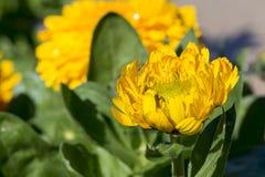 唯一黄色金盏草Officinalis,双重培育品种 免版税图库摄影