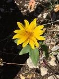 唯一黄色雏菊 库存照片