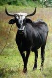 唯一黑色的黄牛 免版税库存图片