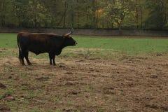 唯一黑黄牛犍子在领域站立 免版税库存照片