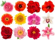 唯一头状花序 罗斯,兰花,牡丹,向日葵 免版税库存照片