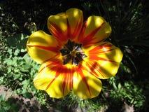 唯一黄色和红色花郁金香 顶视图 免版税库存图片