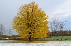 唯一黄色树在一个多雪的秋天早晨 免版税库存图片