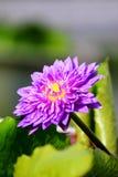 唯一紫色莲花 免版税图库摄影