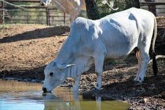 唯一Brahma母牛 免版税图库摄影