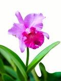 唯一cattleya新查出的兰花的粉红色 免版税库存照片