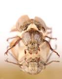 唯一dor甲虫 库存照片