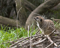 唯一meerkat侧视图在堆蹲下了下来分支 免版税库存图片