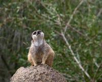唯一meerkat在寻找掠食性动物的岩石蹲下了下来 免版税图库摄影