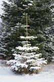 唯一pinetree在雪盖的森林里 免版税库存图片
