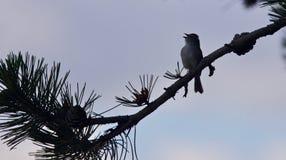 唱歌一只逗人喜爱的鸟的照片,当坐时 库存图片