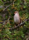 唱歌与趣味的Cetti的鸣鸟 免版税图库摄影