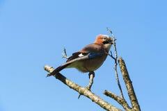 唱歌在一棵死的树的春天鸟在庭院里-生活继续 免版税库存照片