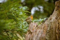 唱歌在公园的一只美丽的知更鸟 免版税库存图片