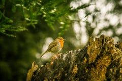 唱歌在公园的一只美丽的知更鸟 免版税图库摄影