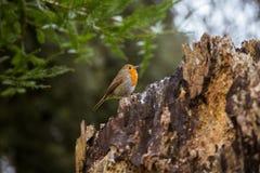 唱歌在公园的一只美丽的知更鸟 库存图片