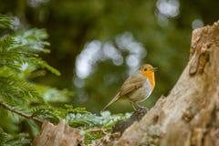 唱歌在公园的一只美丽的知更鸟 图库摄影