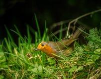 唱歌在公园的一只美丽的知更鸟 免版税库存照片