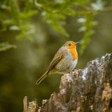 唱歌在公园的一只美丽的知更鸟 库存照片