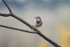 唱歌在分支的蓝点颏在春天公园 免版税库存图片