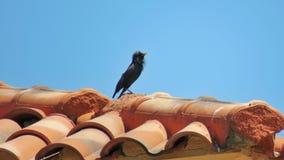唱歌在屋顶的Â一尘不染的椋鸟 免版税图库摄影