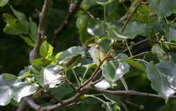 唱歌在布雷得佛洋梨树,乔治亚美国的白目的捕虫鸣鸟歌手 免版税库存照片