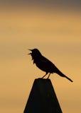 唱歌在日落的红翼歌鸫黑鹂 免版税库存图片