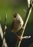 唱歌在春天森林地,汉普郡的鹪鹩 免版税图库摄影