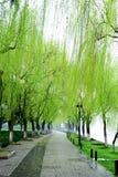 唱歌在杨柳的奥廖拉诺 免版税库存照片