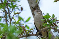 北嘲笑的鸟(Mimus polyglottos) 免版税库存照片