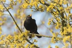 唱歌在树的黑鹂(画眉类merula) 免版税库存照片