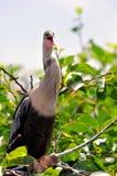 唱歌在沼泽地的母美洲蛇鸟 图库摄影