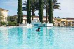 唱歌在游泳池的美丽的鸭子 免版税图库摄影