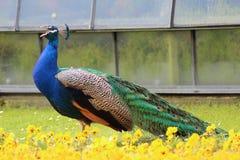 唱歌在花中的美丽的孔雀 免版税库存照片